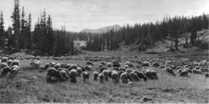 Sheep grazing under permit on the Medicine Bow National Forest, Wyoming, 1927. http://www.foresthistory.org/ASPNET/Policy/Grazing/index.aspx