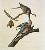 John James Audubon's Ectopistes migratorius, passenger pigeon (1827-30)